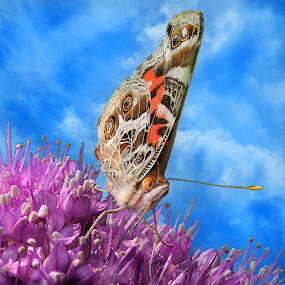 A Global Drink by Corinne Noon - Animals Insects & Spiders ( globe thistle, painted lady, wildlife, insects )