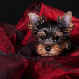 Rest in Red by Martin Ženíšek - Animals - Dogs Puppies ( color, puppy, jorkshire terier, dog, black,  )