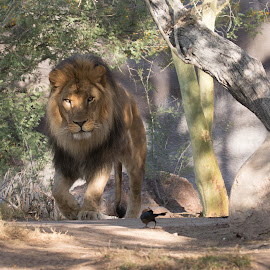 Here Kitty Kitty by Daryl Nickelson - Animals Lions, Tigers & Big Cats ( big cats, nature, wildlife, lions, photography )