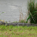 American Alligator (look on her tail)