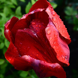 Red Tulip by Gabriel Domnariu - Novices Only Flowers & Plants ( tulip spring garden red beauty nice wet, red, green, drops, romania, stripes, rain,  )