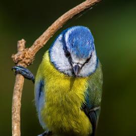 cinciarella by Stefano Pretti - Animals Birds ( bird )