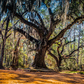 Old Florida Oak by Mike Moss - Landscapes Forests ( florida, canopy roads, spanish moss )