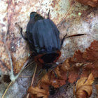Margined carrion beetle