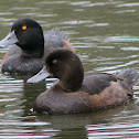 Scaup (Black Teal)