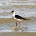 Black-winged Stilt (male)
