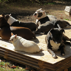 dogs sunning by Shaggy Shack Pack - Animals - Dogs Portraits ( rescue, rescued, pit )