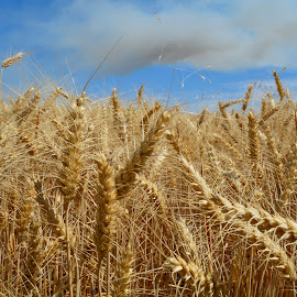 Wheat. by Denton Thaves - Nature Up Close Gardens & Produce ( wheat )