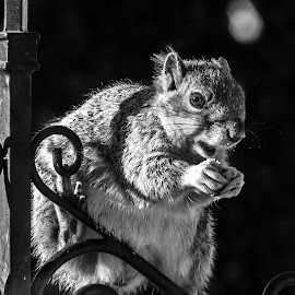 Open Maw by Chip Ormsby - Animals Other Mammals ( michigan, seed, sunflower, nut, squirrel )