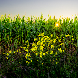 by Keith Homan - Nature Up Close Other plants ( wisconsin, sunset, yellow, flowers, corn,  )