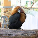 "Rufous Hornbill popularly known as ""Kalaw"" in the Philippines"