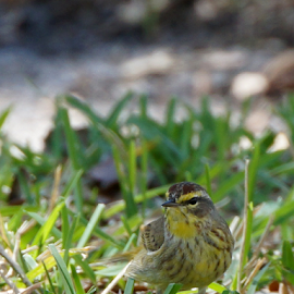 Palm Warbler on the Ground by Jill Nightingale - Novices Only Wildlife ( park, dendroica palmarum, bright, fauna, avian, grass, flora, green, palm warbler, plumage, wildlife, yellow, feathers, bird, migratory, winter, nature, florida, outdoors, brown, backyard, songbird, small, warbler )