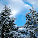 Snow covered Douglas Fir