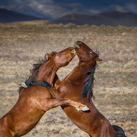 Battle by Jim Shafer - Animals Horses ( jim berryman-shafer, battle, stallions, mustangs, jim shafer, western images, wild horses )