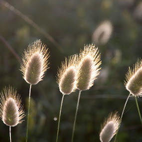 Grass flowers by Kirsten Gamby - Nature Up Close Leaves & Grasses ( penisetum, bunny's tail, backlit seedheads, hare's tail, sunlit seedheads,  )