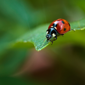 Ladybird (ladybug) on a leaf by Peter Greenhalgh - Animals Insects & Spiders ( macro, coccinellidae, ladybird, ladybug, insect, beetle )