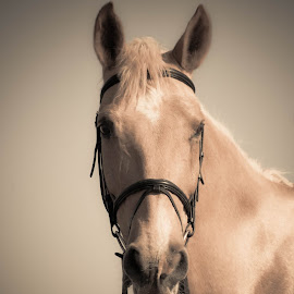 Sunkissed Palamino by Tracey Beer - Animals Horses ( sepia, equine, horse, palamino, sunkissed )