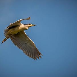 Black-crowned night heron  by Adrian Ioan Ciulea - Animals Birds ( bird, flight, wings, heron, danube )
