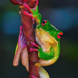 by Eko Adiyanto - Animals Amphibians