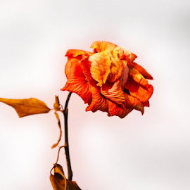 rose is a rose if it  D(r)ies too by Ganesh LK - Novices Only Objects & Still Life