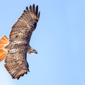 Red Tailed Hawk by Herb Houghton - Animals Birds ( herbhoughton.com )