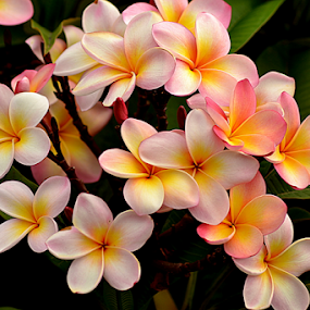 Pink Frangipani 67 by Mark Zouroudis - Flowers Tree Blossoms