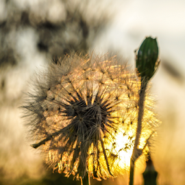 Wishes by Brian Box - Nature Up Close Other plants ( arkansas photographer, dandelion, wishes, sunset, weeds, backlighting )