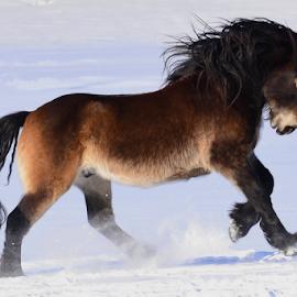 by Kristin Smestad - Animals Horses ( stallion, equine, hest, horse, snow, running )