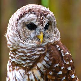 Deep in thought by Traci Cahill - Animals Birds ( #birdsinthewild, #owl, #nature, #birds, #wildlife,  )