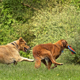 You Can't Catch ME! by Kimberly Davidson - Animals - Dogs Running ( retrievers, dogs, golden retrievers, dogs playing, dogs running, golden retrievers running,  )