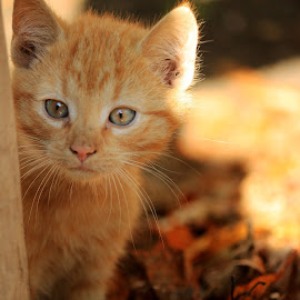 Wild Ginger by Bartosz Chojnowski - Animals - Cats Portraits ( animals, kitten, cat, autumn, beautiful, light, photography, sun, colours )