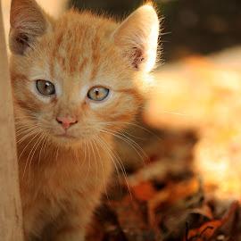 Wild Ginger by Bartosz Chojnowski - Animals - Cats Portraits ( animals, kitten, cat, autumn, beautiful, light, photography, sun, colours )