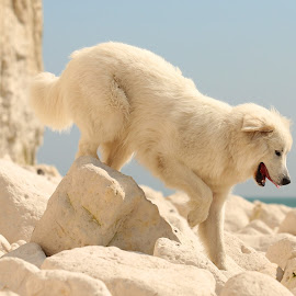 White by Gareth Evans - Animals - Dogs Playing ( chalk, cliffs, great pyrenees, dog )