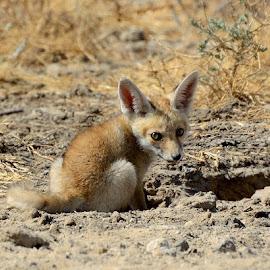 Desert Fox Pup by Hitesh Khokhani - Animals Other Mammals ( cute one )