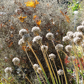 Autumn in the garden by Dubravka Penzić - Nature Up Close Other plants ( fall, color, colorful, nature )
