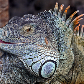 Smile by Leif Holmberg - Animals Reptiles ( reptails, lizard, loro park, tenerife, spain, animal,  )