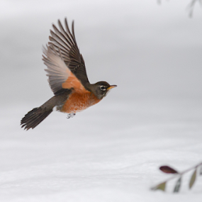Robin In Snowy Flight by Kevin Pastores - Animals Birds ( bird, flight, flying, robin, single, wings.flapping, winter, nature, snow, air, magestic, animal )