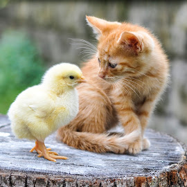 by Maja  Marjanovic - Animals - Cats Kittens ( chicken, kitten, cat, animals, kittens, kitty,  )