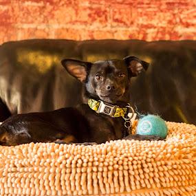 by Jarrod Kudzia - Animals - Dogs Portraits ( #GARYFONGPETS, #SHOWUSYOURPETS,  )