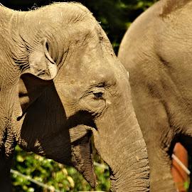 Elephant by Anita Berghoef - Animals Other Mammals ( elephants, zoo, nature, elephant, nature up close, grey, mammal, eye, animal )