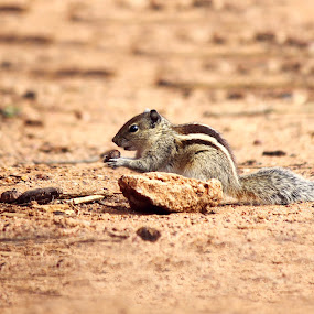 its just mine by Praveen Premkumar - Animals Other Mammals ( single, food, cute, small, squirrel )