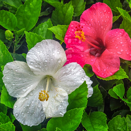 Wet hibiscus by Giancarlo Bisone - Nature Up Close Trees & Bushes ( red, white, bermuda, flower, rain )