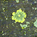 Golden Shield Lichen (Wet)
