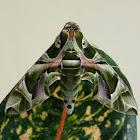 Oleander Hawk Moth ♂