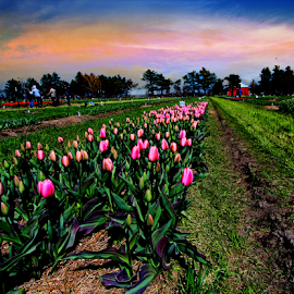by Dipali S - Landscapes Prairies, Meadows & Fields ( field, tulipa, sky, flora, sunset, outdoors )
