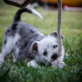 by Jeff Frazell - Animals - Dogs Puppies ( playful, grass, puppy, tug o war, chewing )