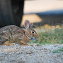 Eastern Cottontail (and tick)