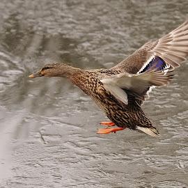 The Landing by Ann Overhulse - Animals Birds