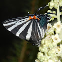 Erybathis Hairstreak butterfly