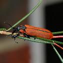 Lycid mimicking weevil